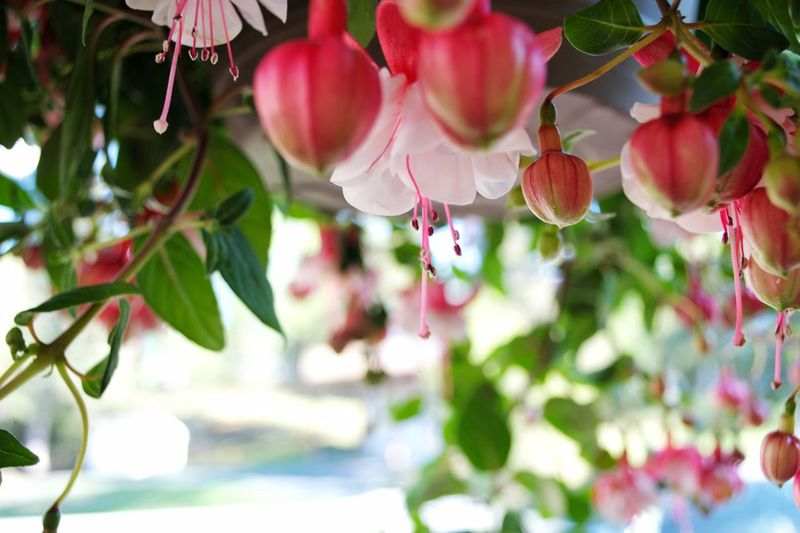 Background Selective Focus Pretty Hanging Flowers Plant Growth Freshness Close-up No People Leaf Focus On Foreground Plant Part Nature Beauty In Nature Red Pink Color Day Flower