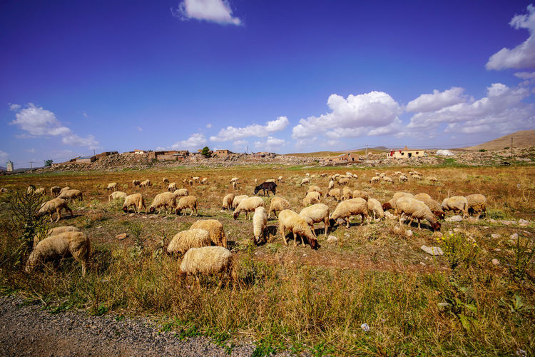 En-route on our way in Azrou. Sky Mammal Group Of Animals Domestic Animals Animal Themes Animal Domestic Field Grass Livestock Large Group Of Animals Cloud - Sky Land Sheep Pets Vertebrate Nature Flock Of Sheep Landscape Plant No People Outdoors Herd Herbivorous