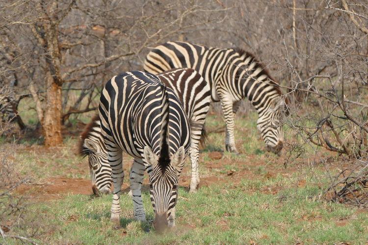 Safari South Africa Nature Animal Animals Travel Traveling Savannah GameDrive Zebra EyeEm Best Shots Wildlife Kruger Park Klaserie