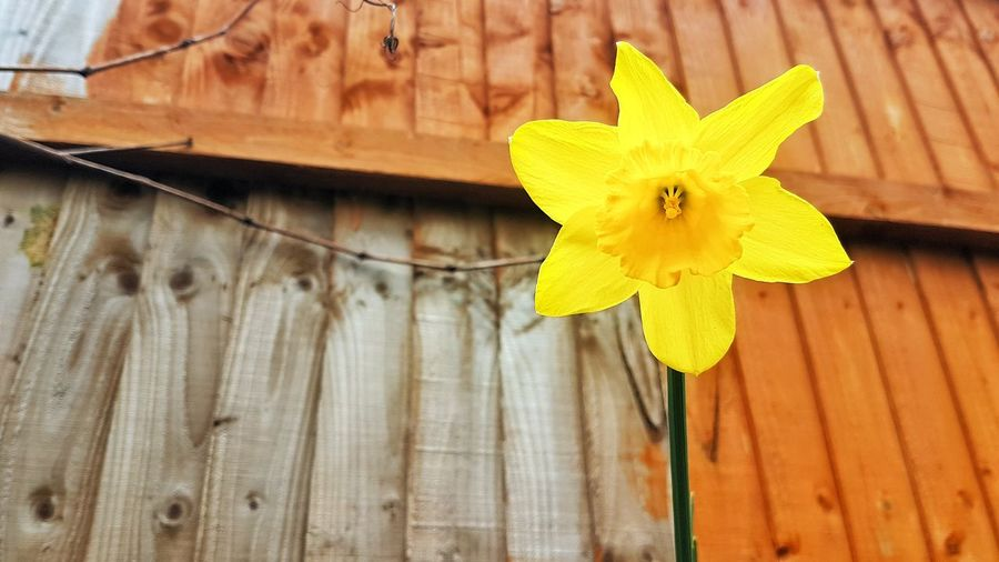 Spring is finally here Daffodils EyeEm Best Shots EyeEm Nature Lover Eye4photography  EyeEm Gallery EyeEmBestPics EyeEm Best Shots - Nature Eyeemphotography Wood - Material Close-up Plant