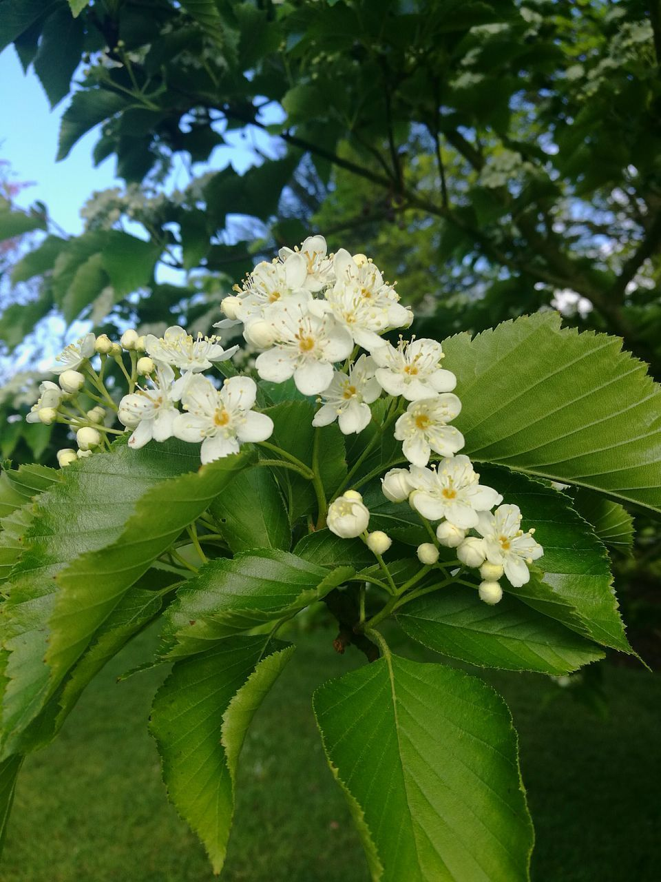 flower, growth, leaf, fragility, freshness, beauty in nature, nature, green color, tree, petal, white color, blossom, branch, day, no people, outdoors, springtime, park - man made space, plant, flower head, blooming, close-up