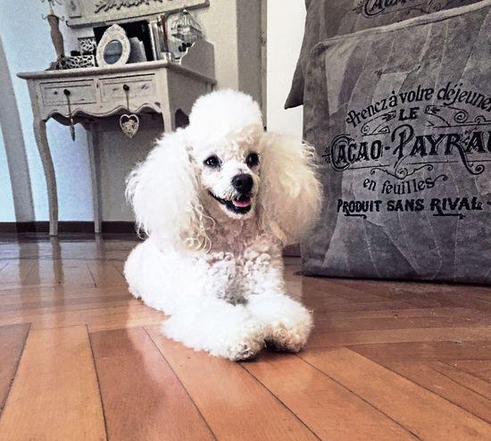 Dog Poodle Toy Poodletoy Poodlemania Puppy Pet Leisure Home Love Pose Pet Portraits