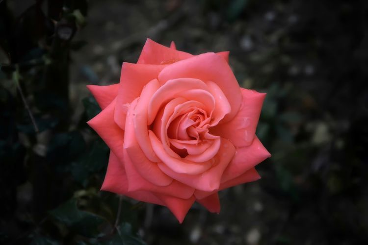 Beauty In Nature Close-up Day Flower Flower Head Fragility Freshness Nature Outdoors Petal Rose - Flower Rose Petals