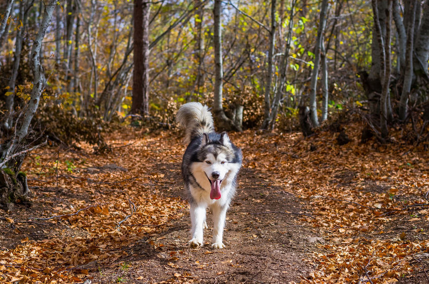 Exploring the small mountain town of Krushevo in Macedonia Animal Themes Autumn Border Collie Day Dog Domestic Animals Forest Full Length Leaf Mammal Nature No People One Animal Outdoors Panting Pets Sticking Out Tongue Tree