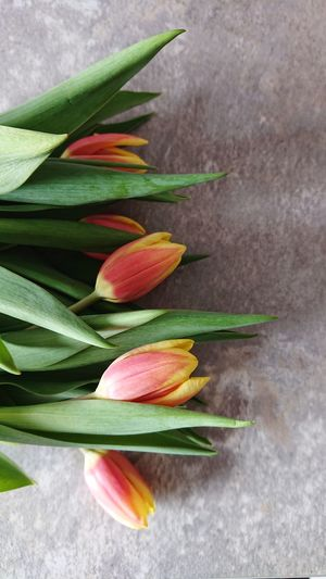 Close up tulips