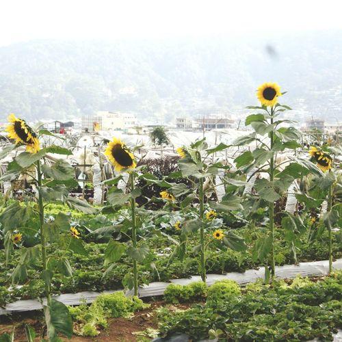 Colour Of Life Sunflowers🌻 Sunnies Flowers Garden Photography