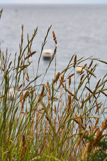 Close-up of grass on field by sea