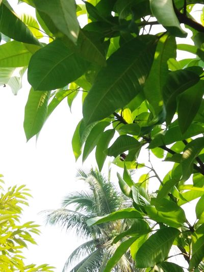 botany Leaf Leafs Leaf Green Color Plant Nature Green Leaf Green Leaf, Fresh And Beautiful Manggo Coconut Palm Tree Durian Durian Tree Sky Sky Collection Tree Leaf Sky Close-up Plant Green Color Tropical Flower Botanical Garden Plant Part Plantation Rainforest Palm Leaf Palm Tree Organic Farm Agricultural Field