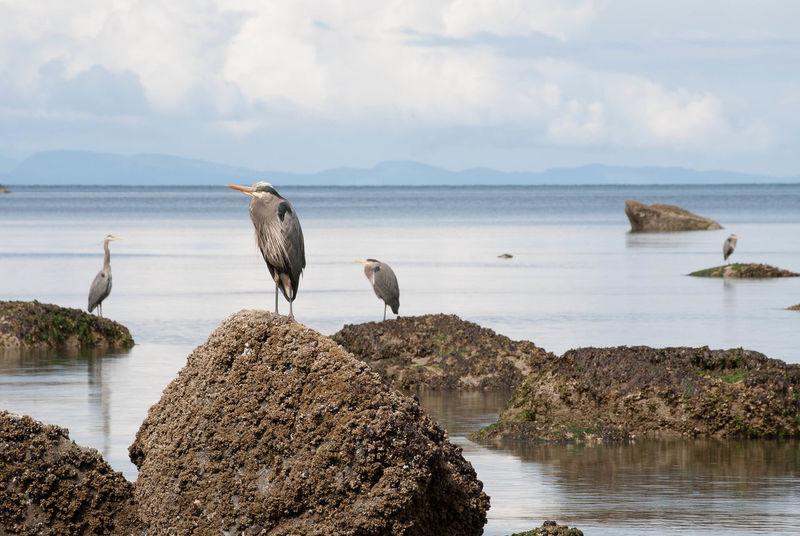 Animal Themes Animal Wildlife Animals In The Wild Beauty In Nature Bird Day Heron Nature No People Ocean Outdoors Perching Rock - Object Sea Sky Water