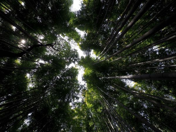 Tree Forest Nature Green Color Outdoors Bamboo Grove Bamboo - Plant Japan EyeEmNewHere Arashiyama Arashiyamabambooforest Arashiyama Bamboo Groove Kyoto, Japan Kyoto Arashiyama Kyoto The Week On EyeEm Perspectives On Nature