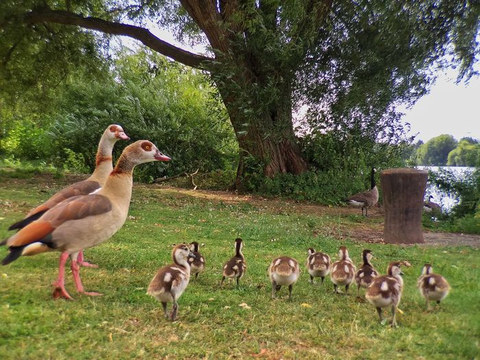 Family happiness Ducks Animal Themes Animals In The Wild Bird Goose Animal Wildlife Tree Nature Field Gosling Geese Day Outdoors No People Growth Young Animal Large Group Of Animals Lake Grass Beauty In Nature Water