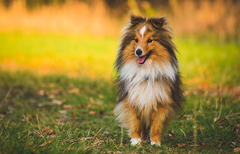 Sheltie. Autumn Colors Animal Themes Brown Day Dog Domestic Animals Focus On Foreground Full Length Grass Mammal Nature No People One Animal Outdoor Photography Outdoors Panting Pets Puppy Sheltie Shetland Shetland Sheepdog Shetland Sheltie Sticking Out Tongue Yellow