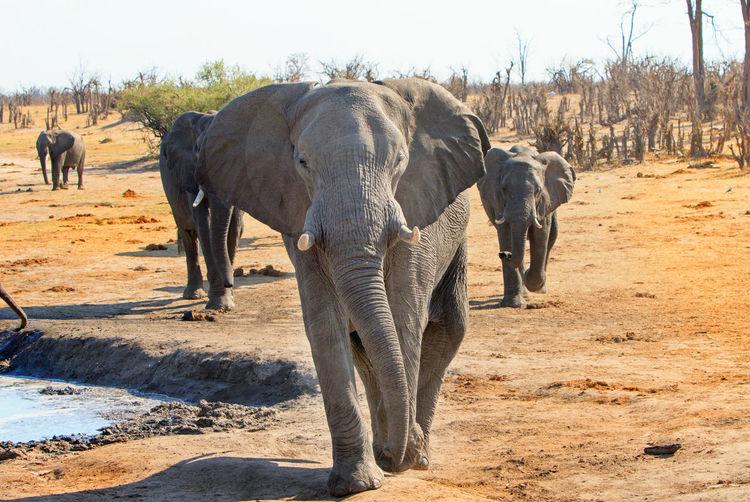 Elephant Animal Themes Animal Animal Wildlife Animals In The Wild Walking Safari No People Animal Family Animal Trunk Hwange National Park Wildlife & Nature Wildlife Photography