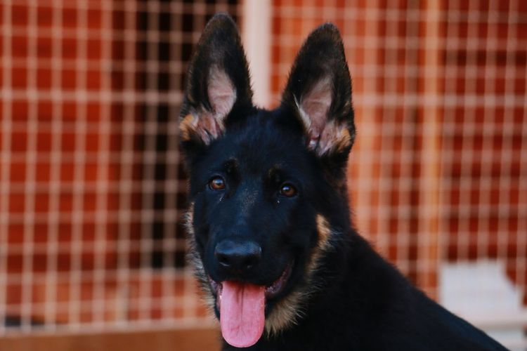 Daylight Tongue Out Blackfur My Dog My Dog <3 Nabatieh Dog Life Dog Love Dog Check This Out Honey Eyes  German Shepherd Close-up