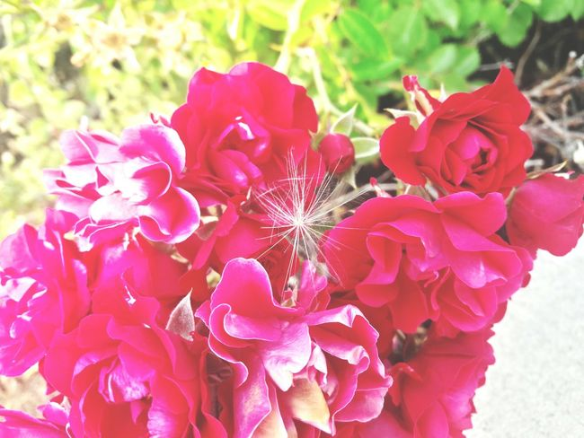 Flower Nature Petal Pink Color Flower Head Plant Beauty In Nature Outdoors Red Day No People Close-up Peony  Leaf Fragility Freshness