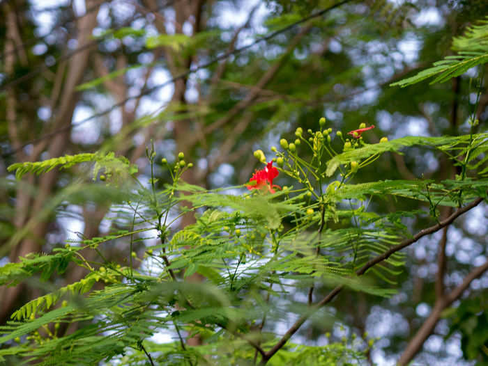 Peacock flower Plant Green Color Growth Tree Selective Focus Day Beauty In Nature Leaf Plant Part Nature Red Close-up Freshness Vulnerability  Fragility Flower Branch Flowering Plant No People Animal Wildlife Outdoors