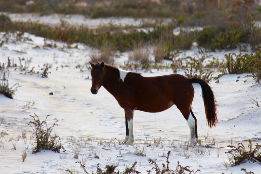 Animal Animal In The Wild Animal Themes Animal Wildlife Mammal Nature Outdoors USA Wild Horse Wild Horse On The Beach