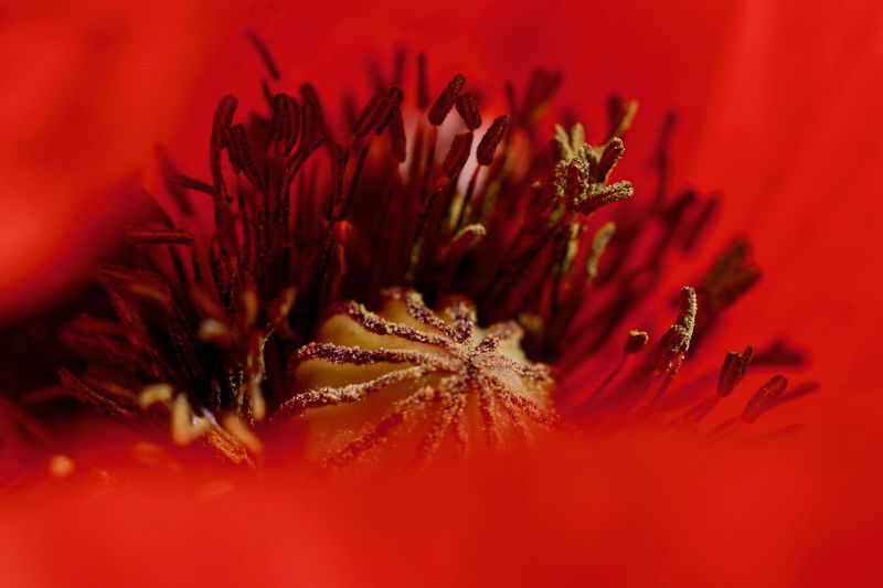 Beauty In Nature Close-up Flower Flower Head Flowering Plant Fragility Freshness Macro Nature No People Poppy Red Red Beauty Selective Focus Soft Focus My Best Photo