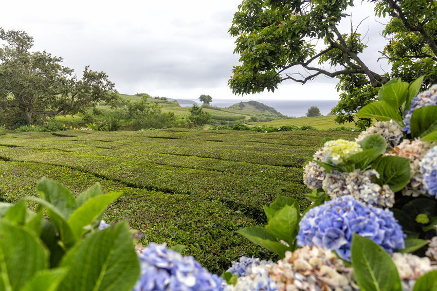 View of Hydrangeas and rows of tea bushes in the distance on Sao Miguel, Azores. São Brás São Brás Cha Gorreana Portugal Azores Sao Miguel Tea Green Black Production Factory Industry Rows Atlantic Europe Cha Gorreana Organic Leaf Agriculture Island Tourism Drink No People Hydrangea Outdoors