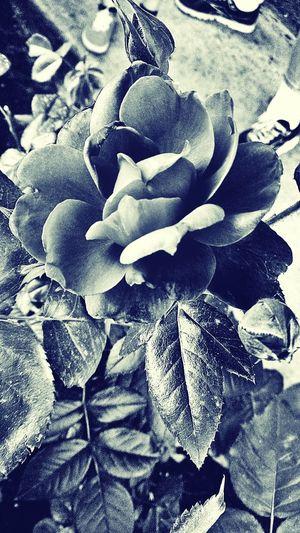 Flowers Light And Shadow Ruvidiadulcinearobinsonphotography