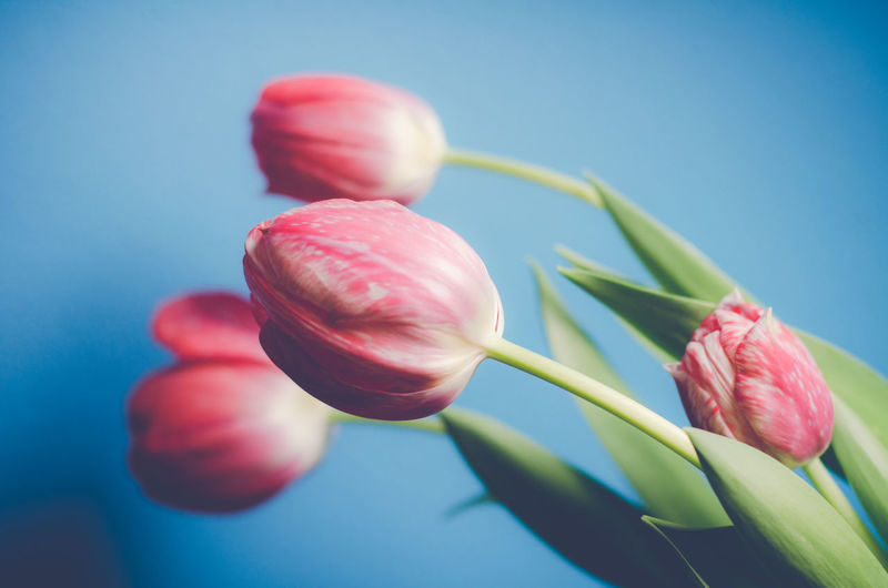Close-up of pink flowers against blue background