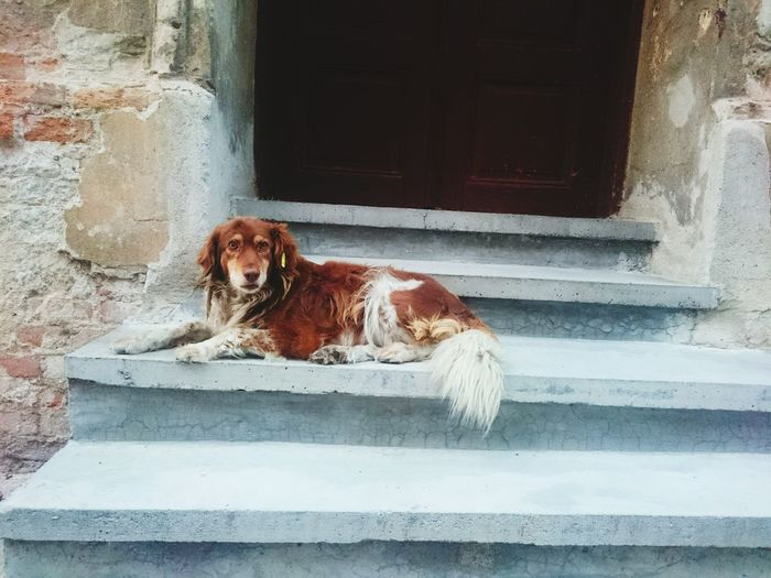 Stray dog lying down on steps against closed door
