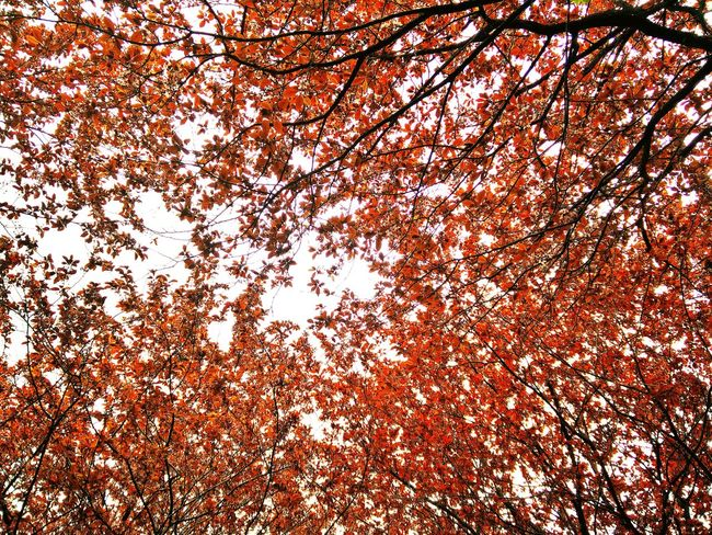 Backgrounds Beauty In Nature Branch Change Day Full Frame Growth Leaf Low Angle View Nature No People Orange Color Outdoors Scenics Season  Sky Tranquil Scene Tranquility Tree Nature's Diversities