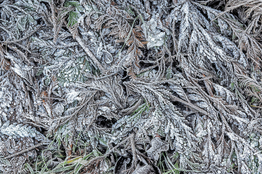 Decay Frost Winter Backgrounds Close-up Conifer  Cuttings Day Design Fir Foliage Frond Full Frame Leylandii Nature Outdoors Textured  Twig White