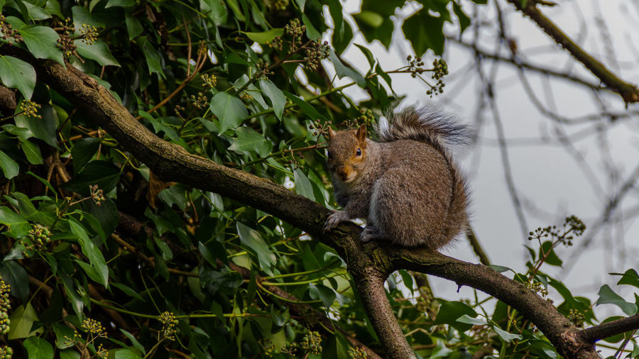 Animal Animal Wildlife Animals In The Wild Branch Cute Day Fluffy Leaves Mammal Nature One Animal Outdoors Squirrel Tree Tree