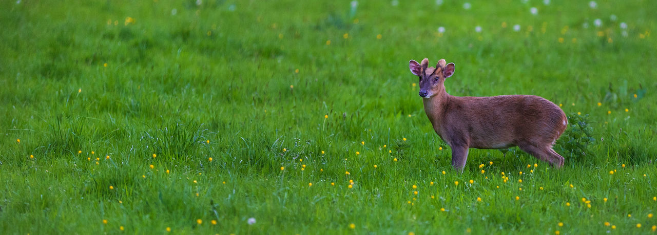A muntjac deer stands securely in a tranquil meadow in Oxfordshire, England. Deer Meadow Flowers Tranquil Tranquility Animal Animal Themes Animal Wildlife Animals In The Wild Beauty In Nature Grass Green Color Herbivorous Meadow Meadows Muntjac Muntjac Deer Nature No People One Animal Outdoors Oxfordshire Plant Tranquil Scene Tranquillity