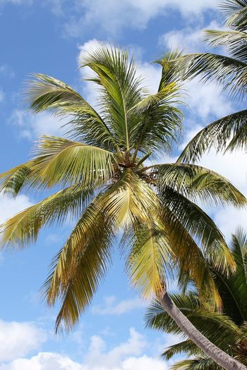 Palm Tree Caribbean Island Caribbean Paradise Isla Saona Perfect Picture Tropical Paradise Beauty In Nature Blue Sky And White Clouds Caribbean Background Caribbean Island Flora Cloud - Sky Day Growth Low Angle View Nature No People Outdoors Palm Tree Paradise Island Saona Island Scenics Sky Tranquility Tree