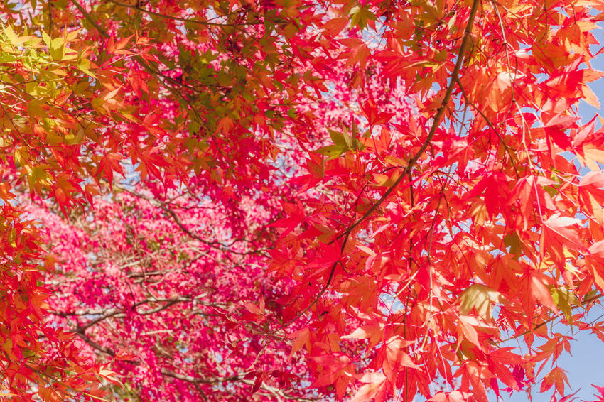Momiji Maple Red Maple Leaves Blue Sky Autimn Fall Japan Maple Japan Tourist Attraction  Beauty In Nature Nature Momiji Kairo