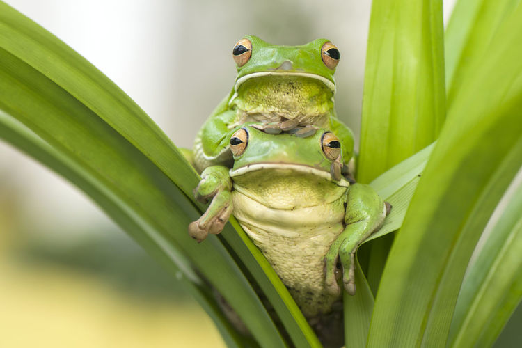 Close-up portrait of frogs on leaf