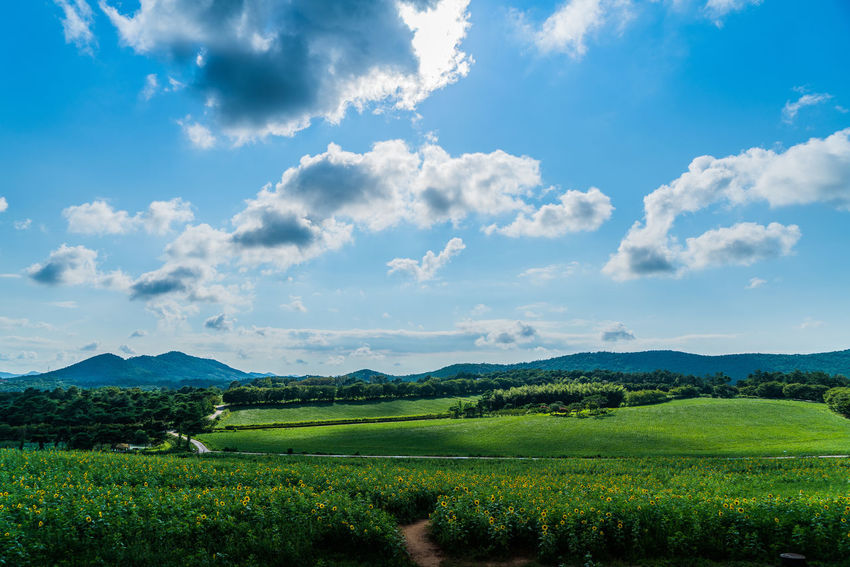 Korea Sunflower Agriculture Beauty In Nature Cloud - Sky Crop  Day Farm Field Growth Hakwon Farm Landscape Mountain Mountain Range Nature No People Outdoors Rural Scene Scenics Sky Tranquil Scene Tranquility Tree