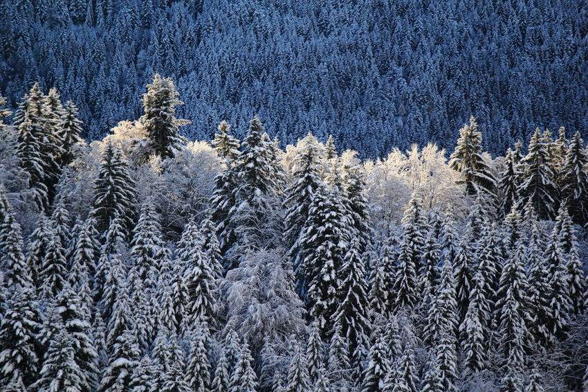 Day Fir Full Frame Nature No People Outdoors Snow Tree