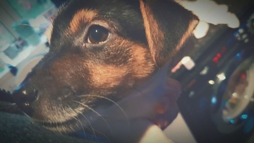 Pets Close-up Mammal Dog Domestic Animals Animal Themes One Animal No People Indoors  Day New Edition Jack Russell Puppy