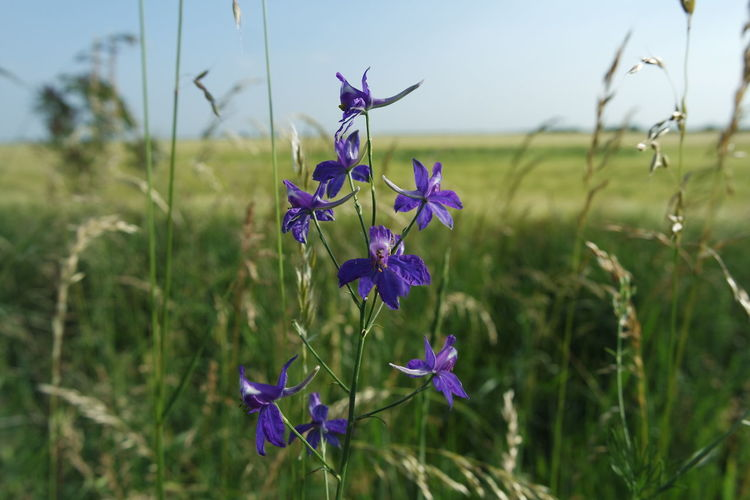 Purple Wild Flowers Fields Flower Flowers Landscape Nature Purple Summer View Wheat Field First Eyeem Photo