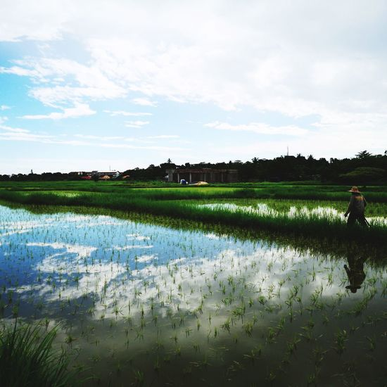 Paddy field.. Flower Cereal Plant Lake Tree