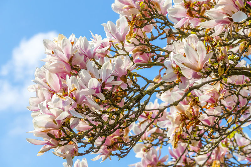 Low Angle View Of Pink Magnolia Flowers Blooming Against Sky