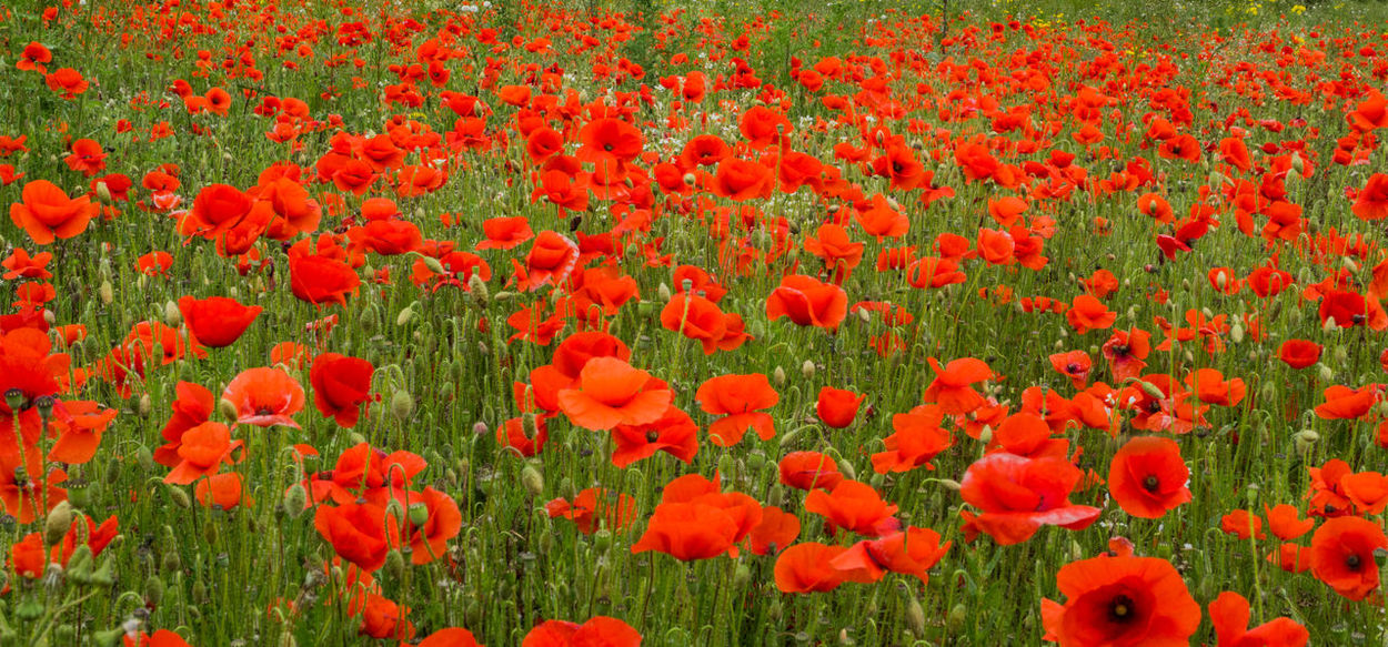 British Legion Flanders WW2 Memorial Backgrounds Beauty In Nature Close-up Day Field Flanders Poppy Flower Flower Head Flowerbed Flowering Plant Fragility Freshness Full Frame Growth Land Nature No People Outdoors Petal Plant Poppy Red Remberance Day Remeberance Springtime Tulip Vulnerability  Ww1 Ww1 Memorial Ww2