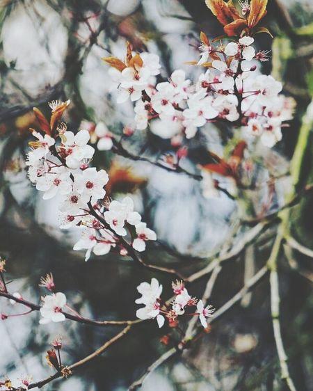 весна цветы сакура красота