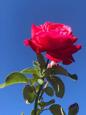 Rose Flower Flowering Plant Plant Petal Beauty In Nature Red Freshness
