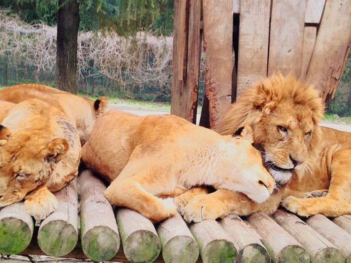 こんな夫婦になりたい💕 I discover a mandarin duck couple lion in Gunma safari park! May you have happiness forever! Lion ライオン 夫婦 Marriedcouple Marriedcouples サファリ サファリパーク Safari Park Safari