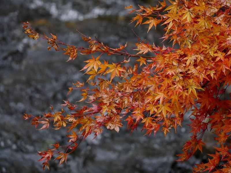 Autumn Colors Autumn Beauty In Nature Change Leaf Maple Leaf Nature No People Orange Color Outdoors