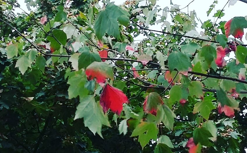 First red foliage Autumn🍁🍁🍁 Autumn2016 Herbst🍁 Nature Nature_collection Hamburg