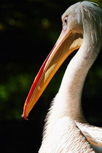 Pelican Animal Themes Animal One Animal Animal Wildlife Vertebrate Bird Animals In The Wild Beak Close-up Focus On Foreground Animal Body Part No People Pelican Nature Day Animal Head  Animal Neck Outdoors White Color Sunlight