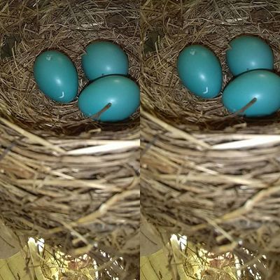Day 4 since discovered, unsure of how far along they are, fingers crossed that I catch the hatching Birds Robineggs Robin Naturephotography Nature Beauty Lifephotography Life Babybirds Babies Eggs
