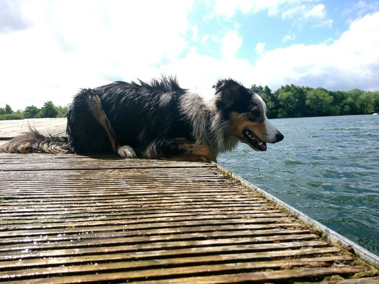 A normal day in the life of Leo 🐶 Water Animal One Animal Cloud - Sky Nature Outdoors Sky No People Day Swimming Pets Animal Themes Exposure Border Collie Concentration Swimming Wet Shiney