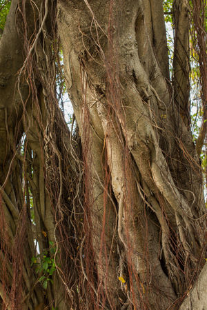 banyan tree Banyan Banyan Tree Banyan Tree Roots Beauty In Nature Growth Lanmark Nature Outdoors Root Roots Of Tree Tree Tree Trunk Wood Wooden
