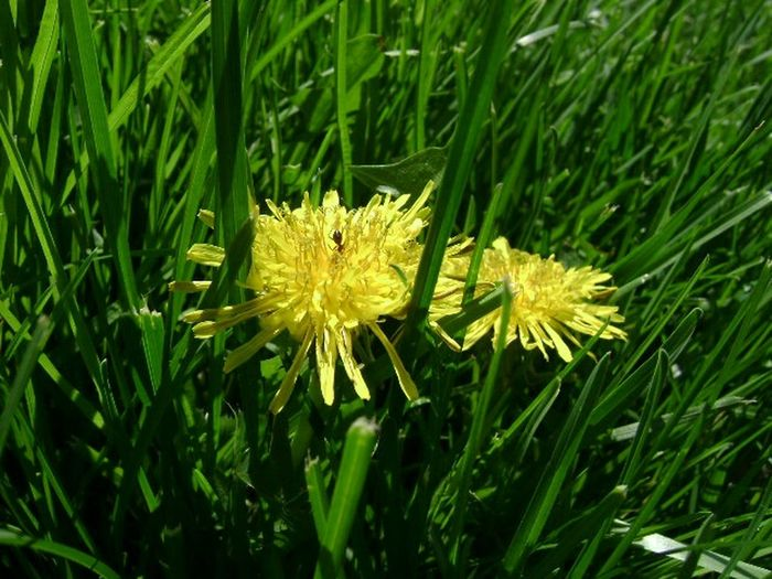 Fine and Dandy Dandelions Green Grass Ant